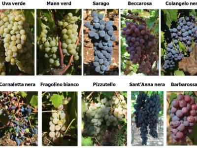 Antichi biotipi e vitigni autoctoni recuperati in Provincia di Bari, Puglia